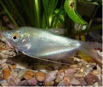 Pakan Untuk Jenis Ikan Hias air Tawar Gurami Moonlight