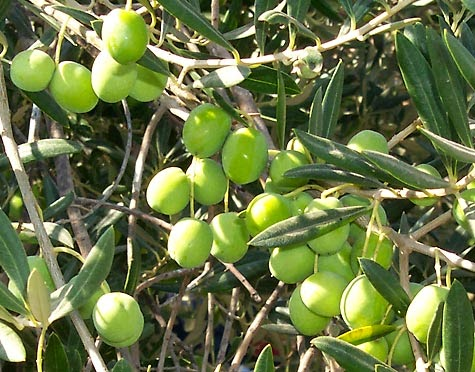 Olive Cultivation Consultancy