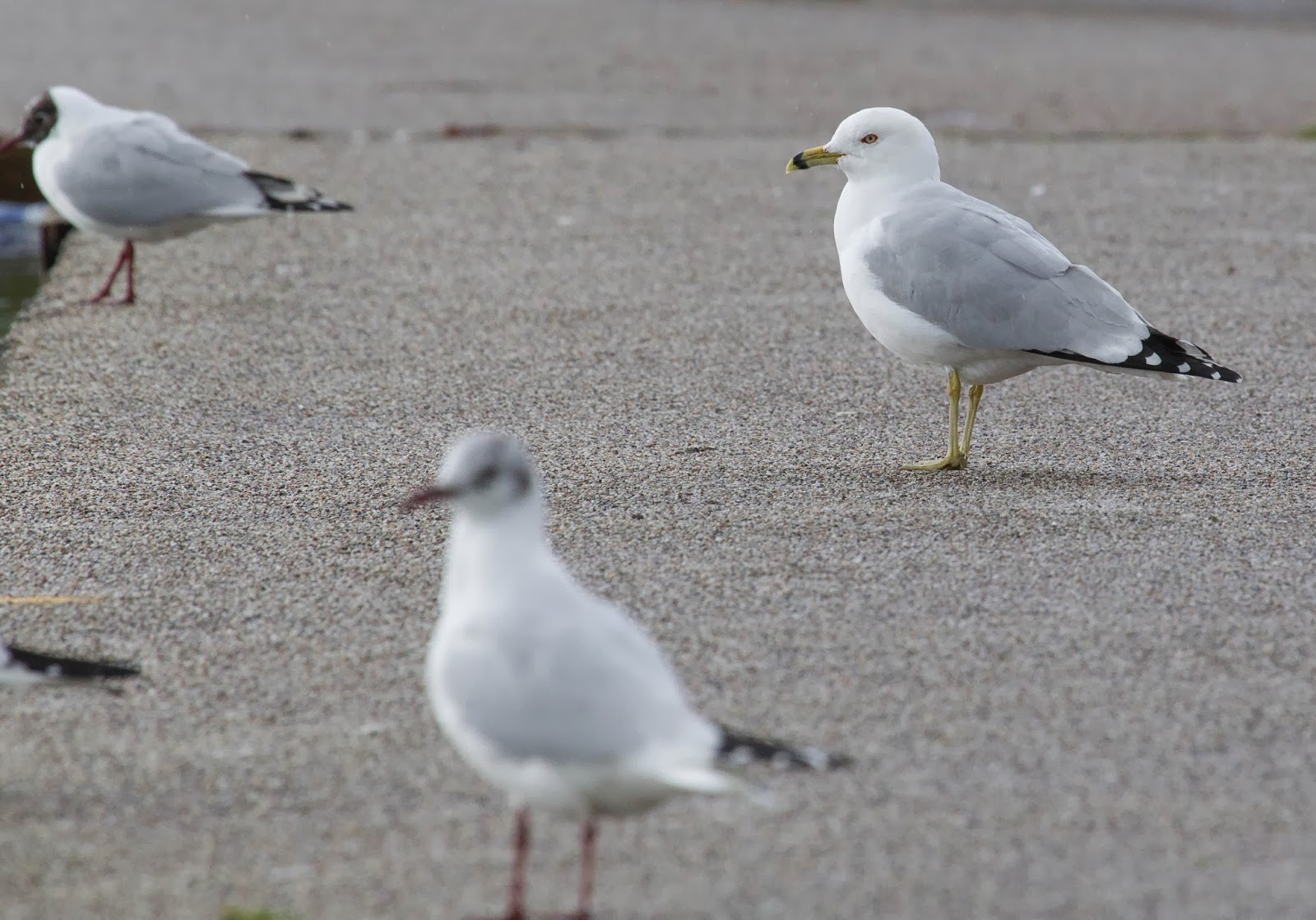 Ring-billed Gull - Simon Colenutt