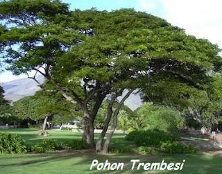 pohon trembesi | budidaya trembesi | bibit-bibit kayu trembesi | jual bibit trembesi unggul | pohon trembesi