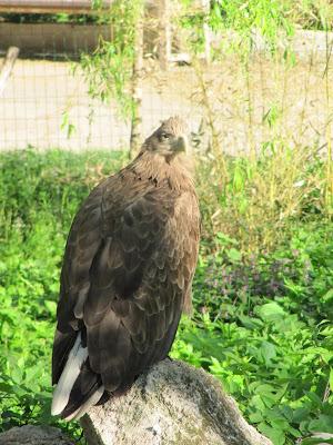 acvilă zoo Chișinău