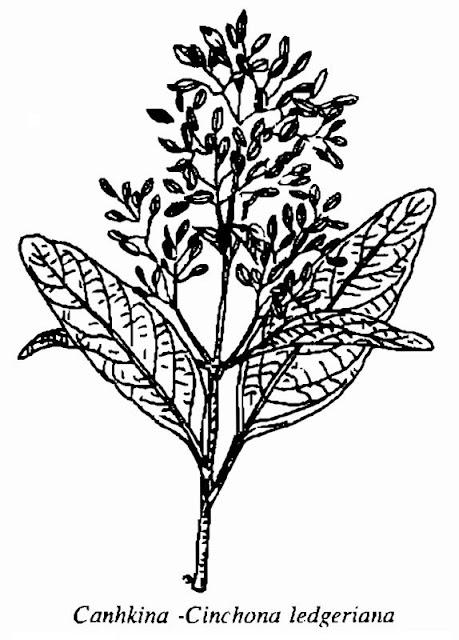 Hình vẽ Canhkina - Cinchona ledgeriana - Nguyên liệu làm thuốc Chữa Cảm Sốt