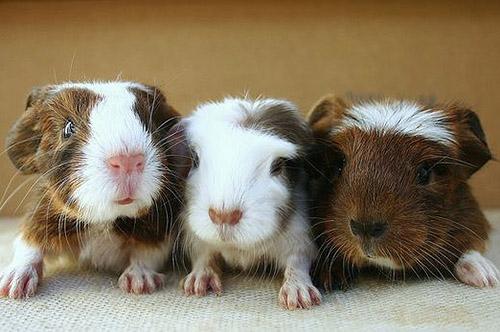 3 lieve cavia's naast elkaar op een rij