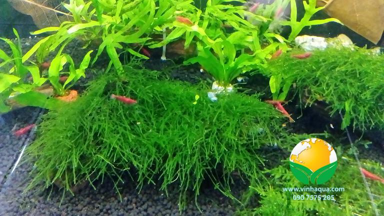 Tạp hóa thủy sinh - rêu Mini Weeping