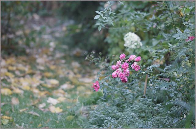 kwitnie róża