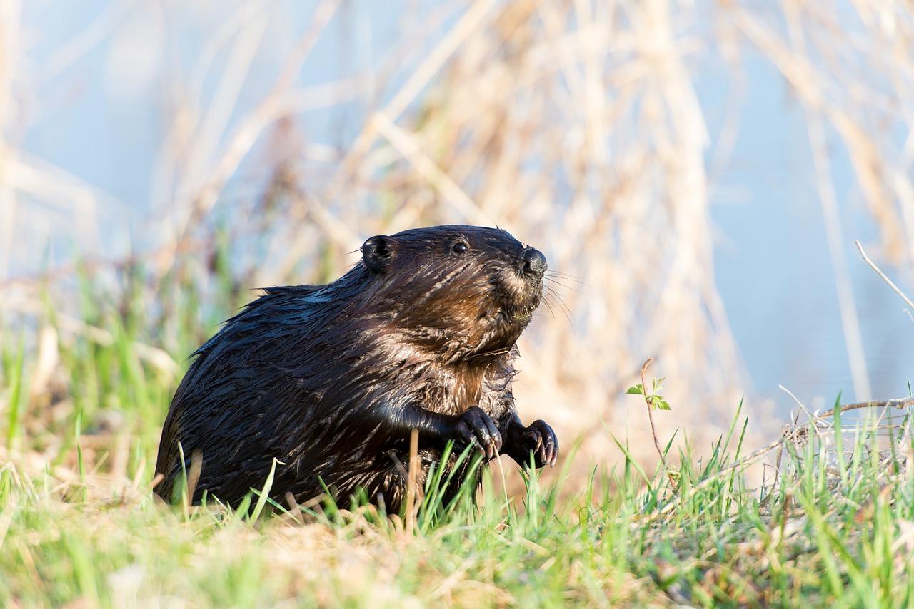 beaver dam alberta visible space [ 1280 x 854 Pixel ]