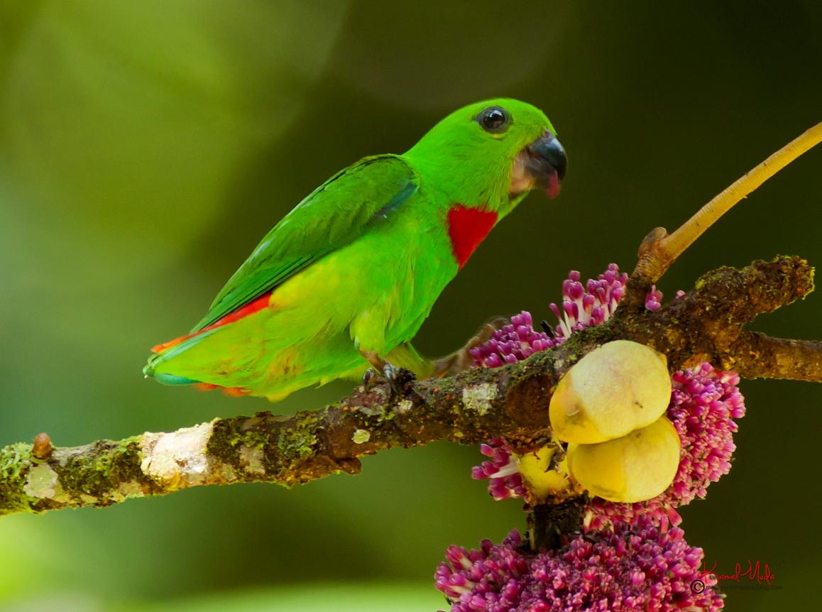Malaysia Birds Paradise: Blue