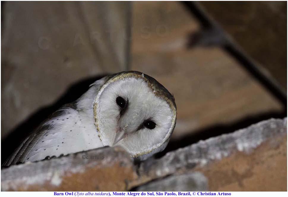 Christian Artuso: Birds, Wildlife: Brazilian Nightlife ... - photo#41