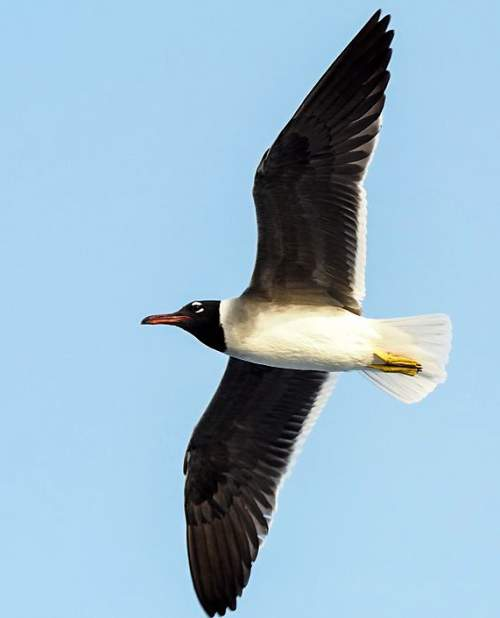 Birds of India - Photo of White-eyed gull - Ichthyaetus leucophthalmus