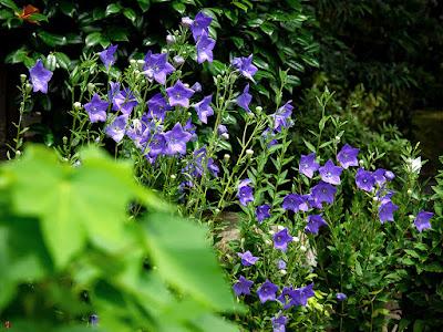 Kikyo (Platycodon grandiflorus) flowers: Kaizo-ji