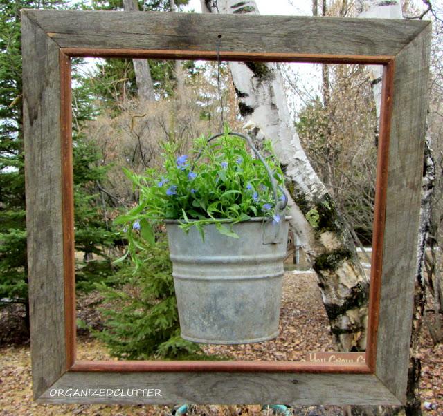 Framed Lobelia Bucket #technoheatlobelia #framedlobelia #frameideas #junkgarden #galvanized #containergarden