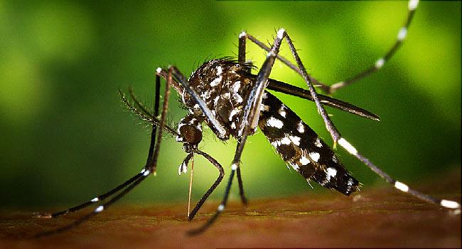 "Mengenali Tiga Jenis Nyamuk ""Aedes Aegypti"""