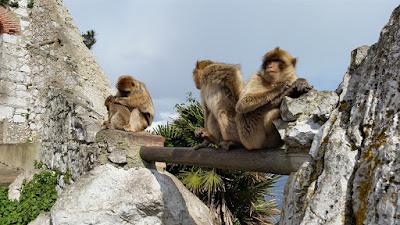 monos viviendo en libertad en gibraltar