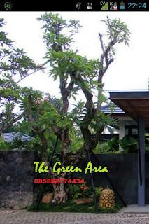Harga jual pohon kamboja batang besar
