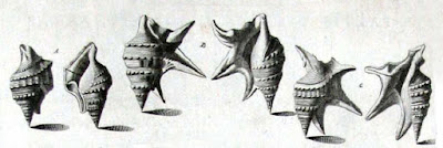 http://www.stromboidea.de/bilder/Aporrhais_pespelecani_Gualtieri_1743.jpg