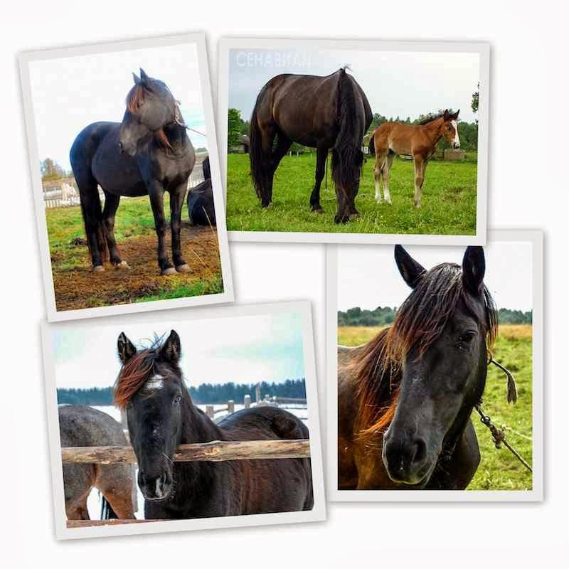 Заряна. Сенавиан, там где конные прогулки. Лошади в Тверской области.