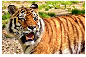 10 Lines on Tiger in Hindi