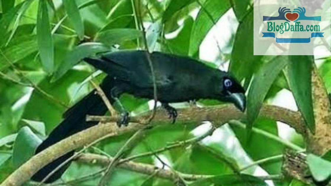 Gambar Burung Murai Irian