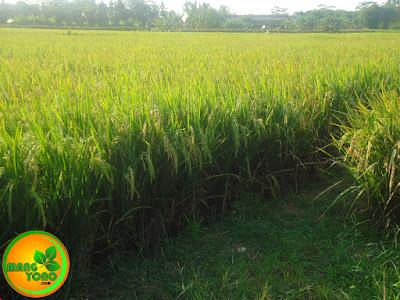 Saya juga menanam Padi Mekongga ini di Sawah