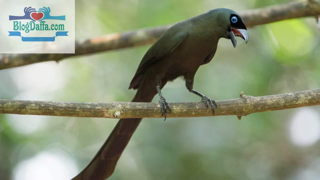 Gambar Burung Crypsirina temia