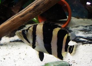 Peluang Usaha Budidaya Ikan Ringau Dan Analisa Usahanya  Kabar Terbaru- PELUANG USAHA BUDIDAYA IKAN RINGAU