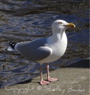 Herring Gull. Amsterdam. © Copyright, Shelley Banks, all rights reserved.