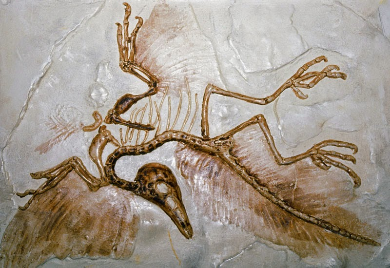 Ancient Artifacts: Archaeopteryx : X-rays shine new light ...