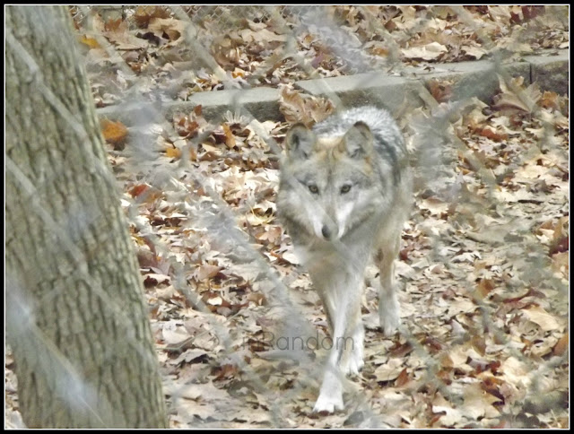 Wolf Sanctuary Eureka, MO