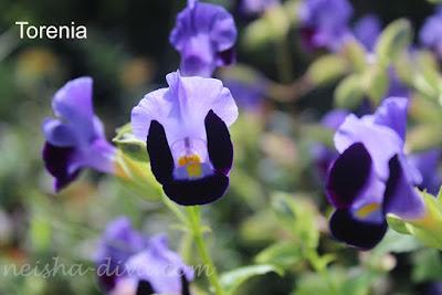 Torenia (Rumah Bunga Neisha)