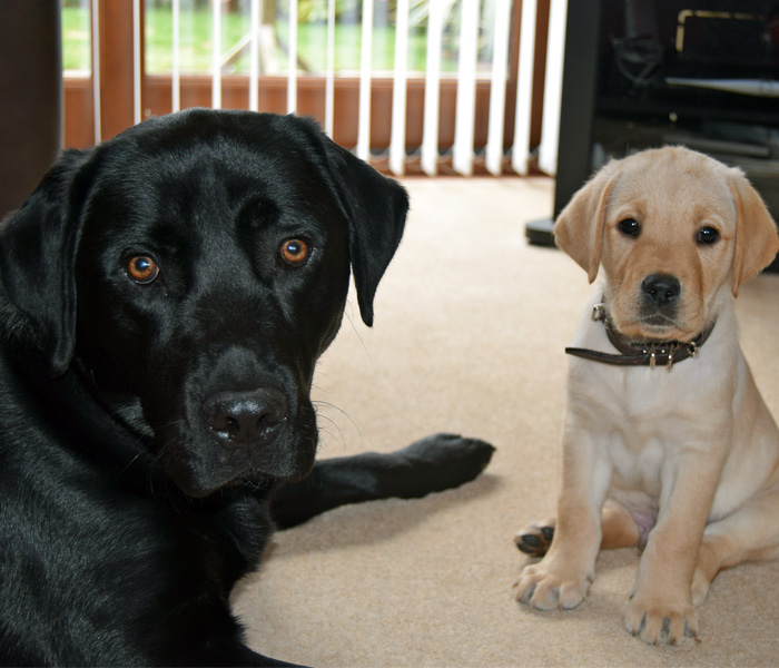Black Labrador and Golden Labrador