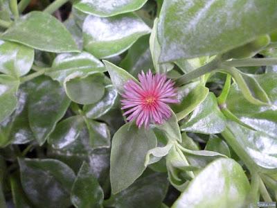 葉がビニールのような植物