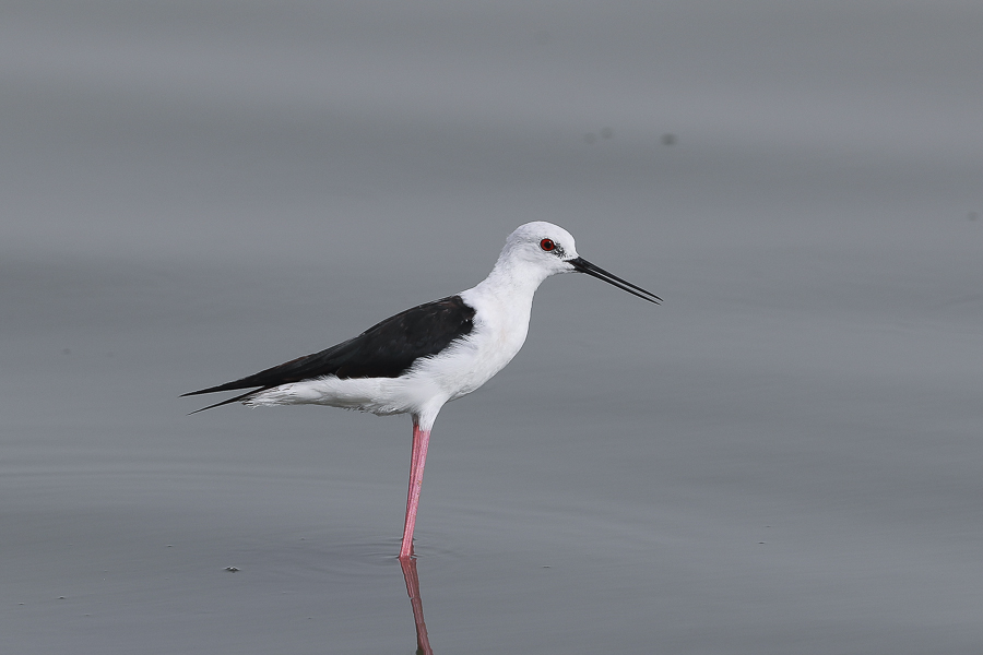 Black-winged Stilt - adult