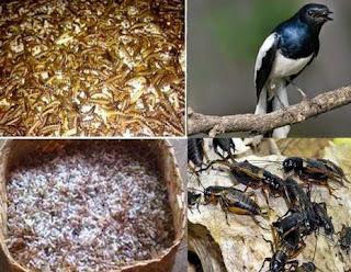 Makanan Burung Kacer Yang Bagus.