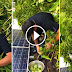 WATCH: Richard Gomez Harvested Indian Mangoes On Their Roof While His Wife Lucy Was Away!