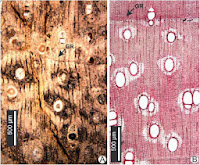http://sciencythoughts.blogspot.co.uk/2014/11/wood-fossils-from-plio-pleistocene-of.html