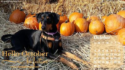 october 2016 desktop calendar doberman dog