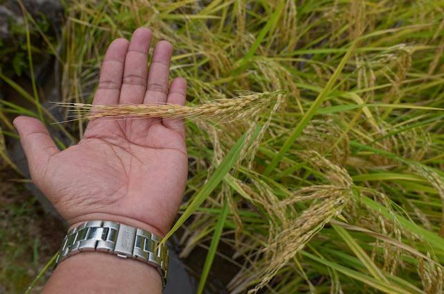 8th Wonder of the World Batad Rice Terraces Ifugao Cordillera Administrative Region Philippines Batad Rice Terraces AvianQuest nearlytrouching mature rice stalks