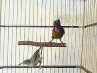 Trik Memilih Kolibri NInja(konin) Usia Trotolan/Bakalan