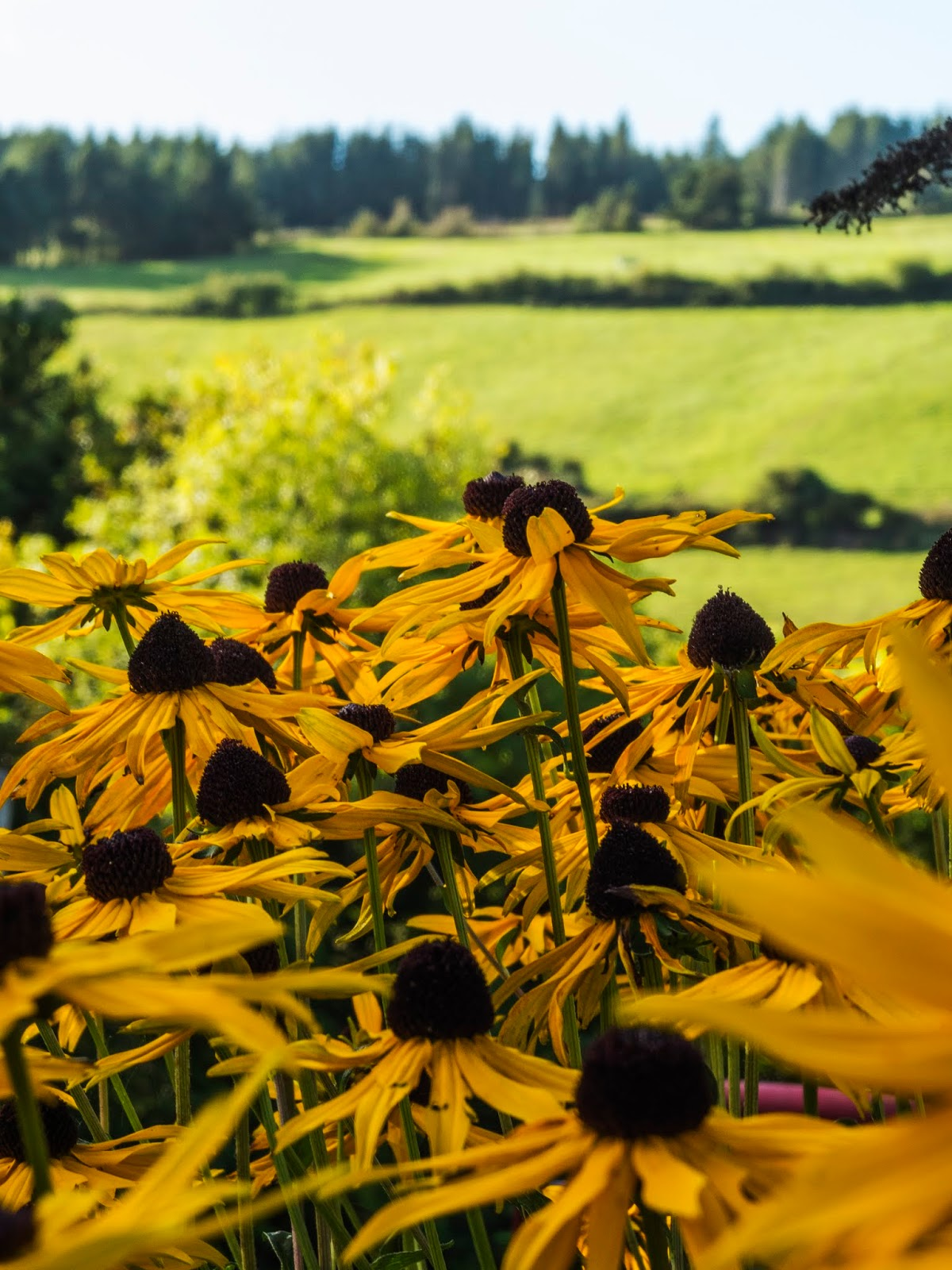 Black Eyed Susan flowers against a mountain side back drop.