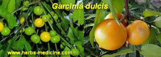 Diarrhea use Garcinia dulcis