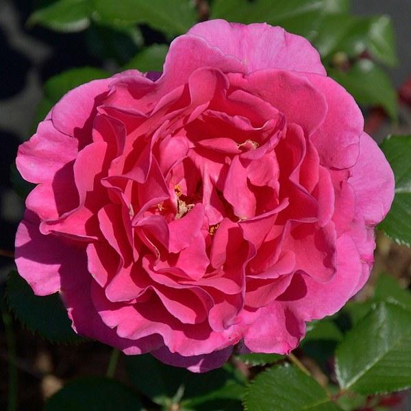 Princess Alexandra Renaissance сорт розы фото