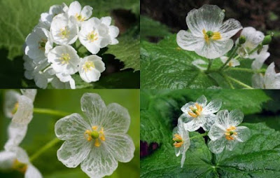 saat terkena air, warna putih dari bunga Diphylleia grayi atau sekeleton flower berubah menjadi transparan seperti kaca
