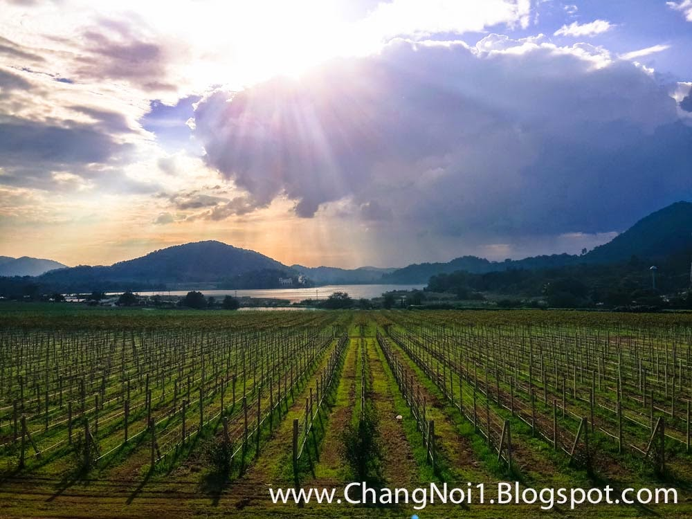 Sunset at Silverlake vineyard in Pattaya, Thailand