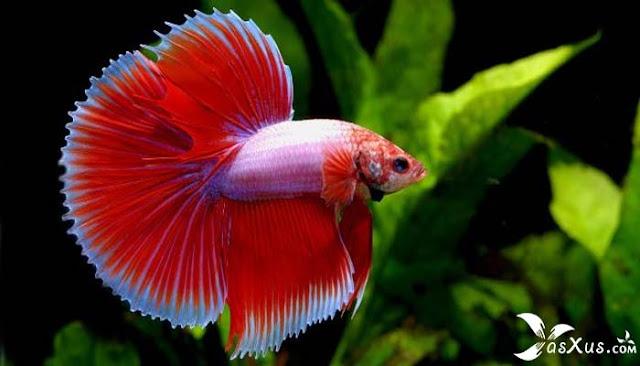 8 Cara Merawat Ikan Cupang Yang Baik dan Benar Agar Cepat Besar