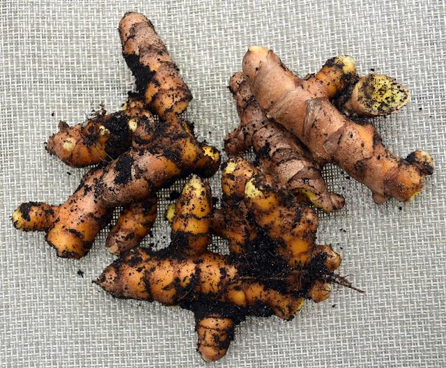 Freshly dug out homegrown turmeric rhizomes