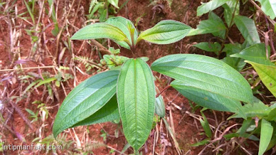 khasiat manfaat daun harendong senggani untuk kesehatan