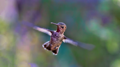 Here is an example of questioning recent alleged evolution in a hummingbird.