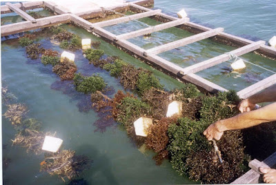 Indonesia Seaweed Suppliers and Production Method