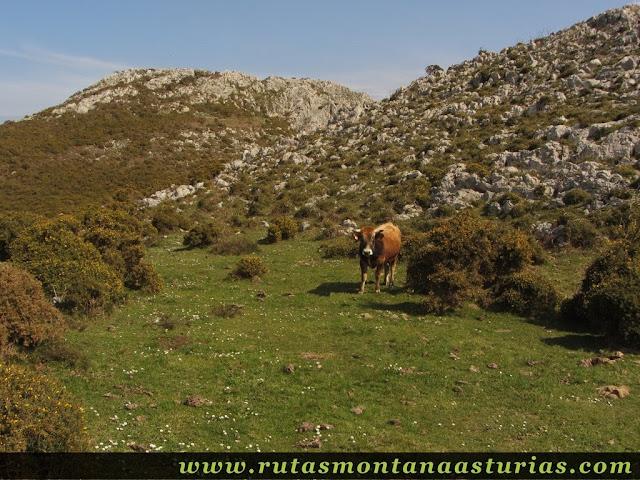 Toro en prado