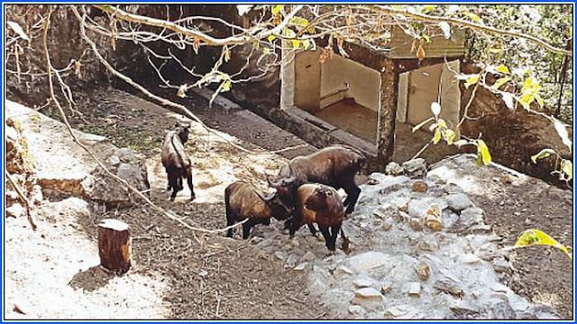Berlin baby takins dies at Darjeeling zoo
